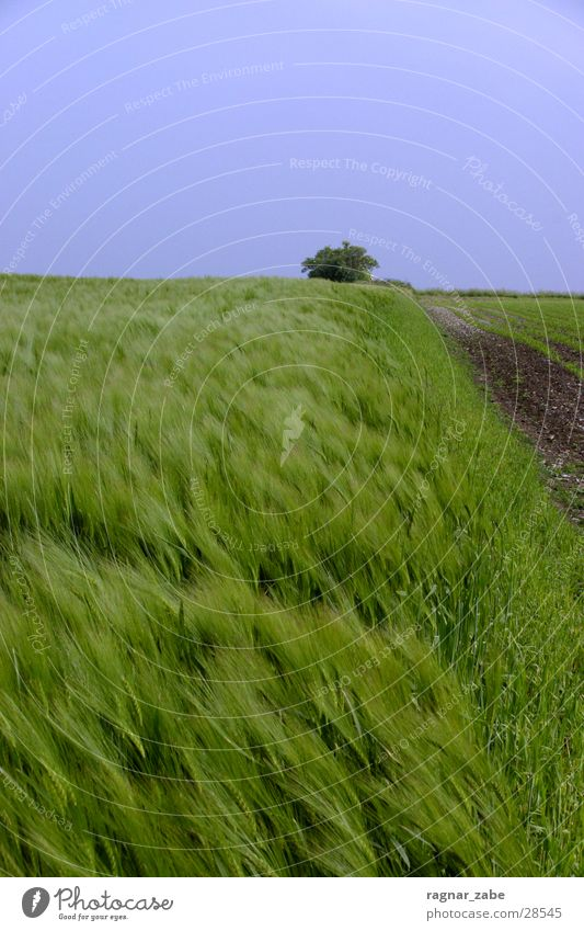 Green Summer Münster Barley Rye