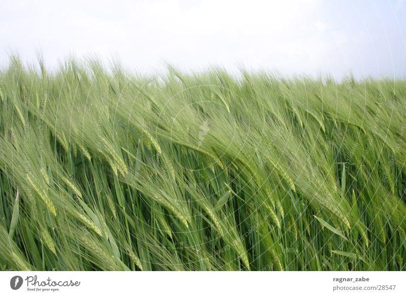 Green Spring Grain Barley Rye