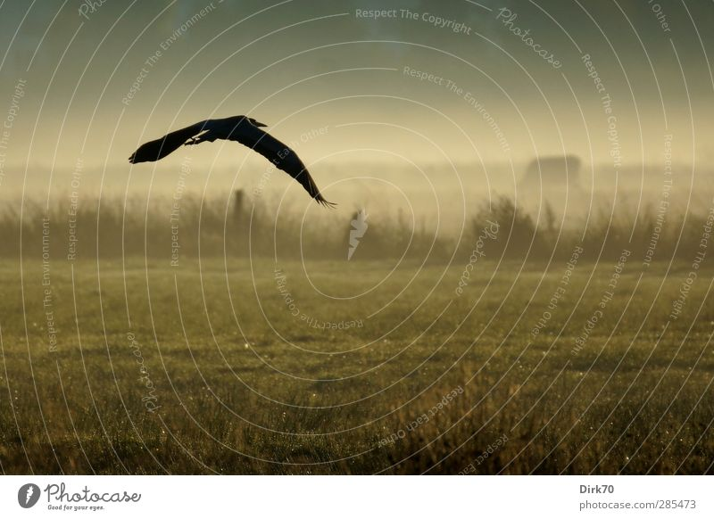 Heron in flight with cow in morning fog Agriculture Forestry Nature Landscape Fog Grass Bushes Meadow Field Pasture Fence Pasture fence Animal Wild animal Cow