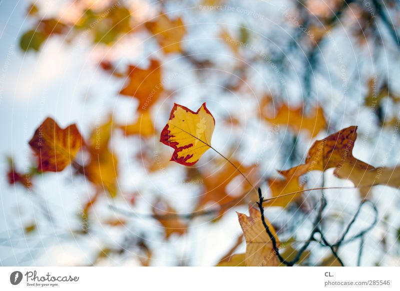 Sky Nature Beautiful Red Leaf Yellow Autumn Branch Transience Beautiful weather Change Twig Treetop Autumn leaves Autumnal Blue sky