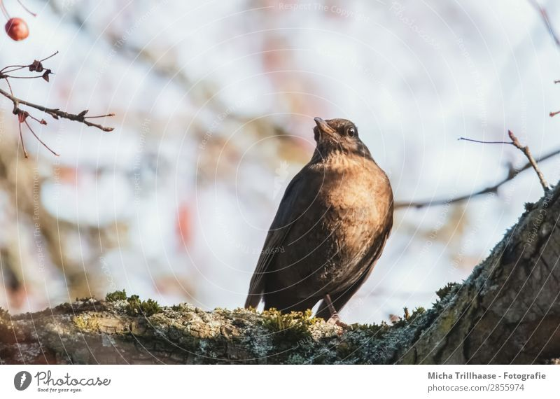 Blackbird in a sunny tree Nature Animal Sky Sunlight Beautiful weather Tree Wild animal Bird Animal face Wing Claw Eyes Beak Feather 1 Observe Relaxation