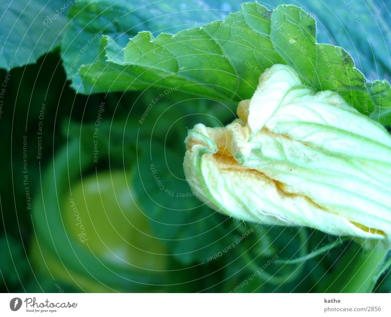 pumpkin01 Green Yellow Leaf Blossom Pumpkin