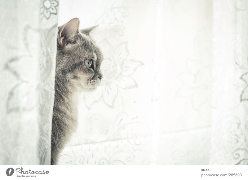 Gentle character Animal Window Pelt Pet Cat 1 Sit Authentic Bright Cuddly Curiosity Cute Soft Gray Watchfulness Domestic cat Smooth Curtain Window board