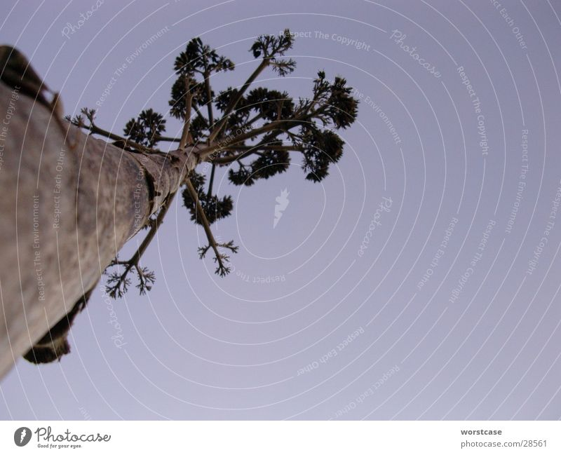 agave Worm's-eye view Agave Spain Dried Dusk Tree trunk Blue
