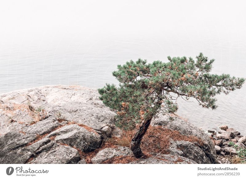 Pine tree on a rocky lakeshore Beautiful Relaxation Calm Summer Ocean Nature Landscape Fog Tree Rock Coast Lake Stone Green Pink Serene Colour water coniferous