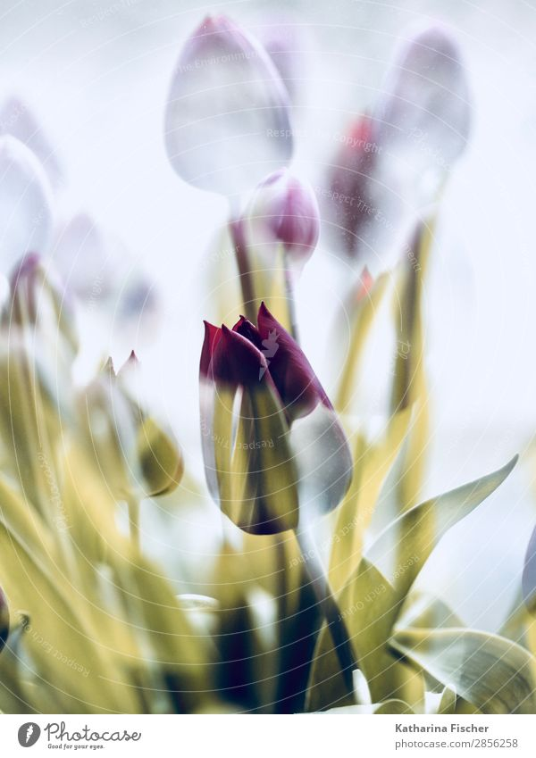 a beauty tulip in golden cloak Art Nature Plant Spring Summer Autumn Winter Flower Tulip Leaf Blossom Bouquet Blossoming Illuminate Beautiful Yellow Gold Red
