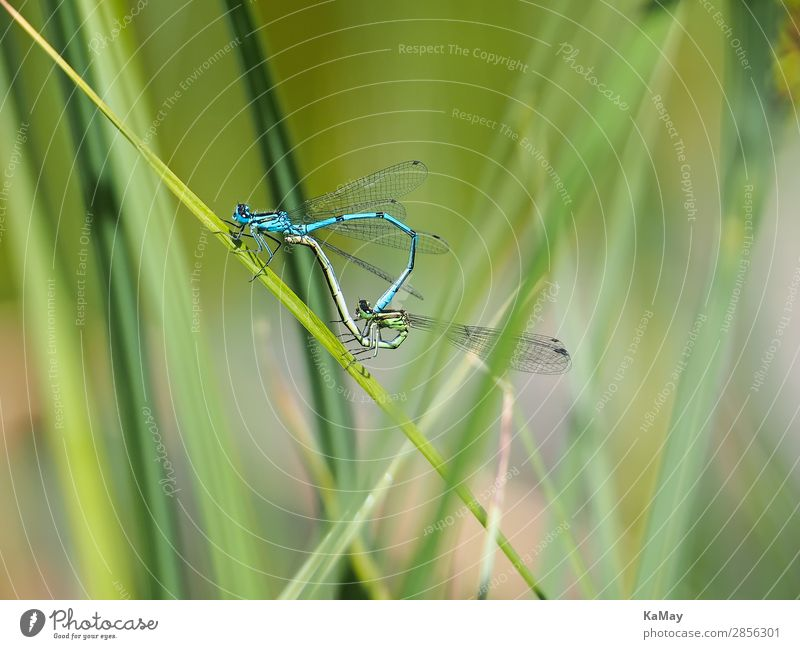Two dragonflies (horseshoe-zurjungfern) in the mating wheel Nature Animal Spring Summer Pond Wild animal Insect Dragonfly Common Blue Damselfly  Small dragonfly