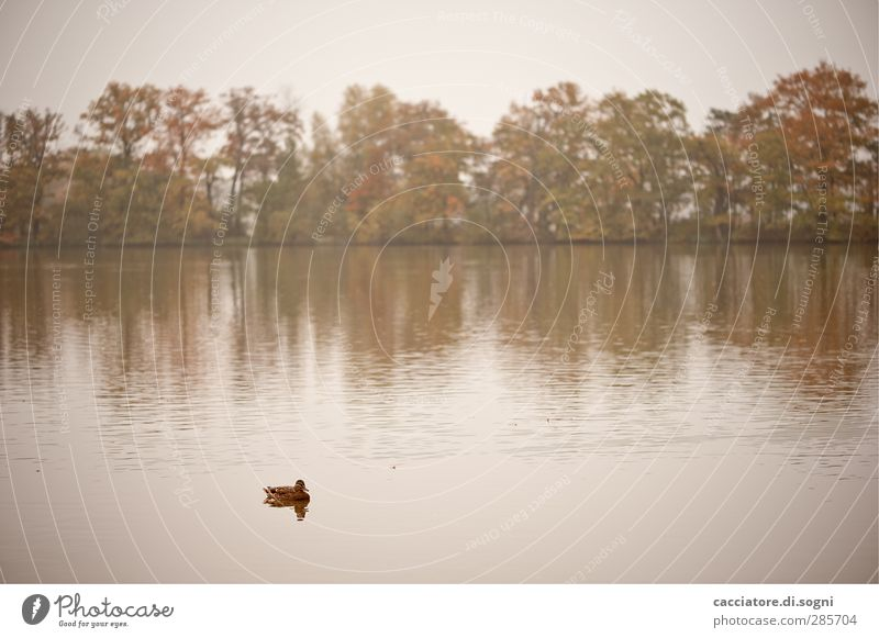 lonely duckling Trip Nature Landscape Water Autumn Fog Tree Lakeside Pond Animal Duck 1 Freeze Swimming & Bathing Soft Brown White Emotions Sadness Lovesickness
