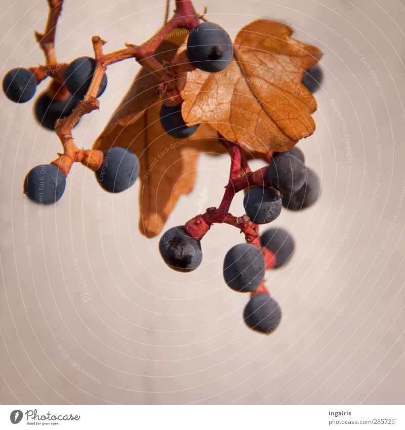 little trub Plant Autumn Leaf Bunch of grapes Vine leaf Fruit Wall (barrier) Wall (building) Hang To dry up Round Juicy Blue Brown Violet Red Transience Mature