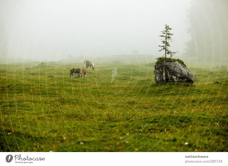 Fog on the mountain pasture Nature Landscape Plant Animal Summer Weather Bad weather Rain Tree Alps Mountain Alpine pasture Pasture Farm animal Horse 3