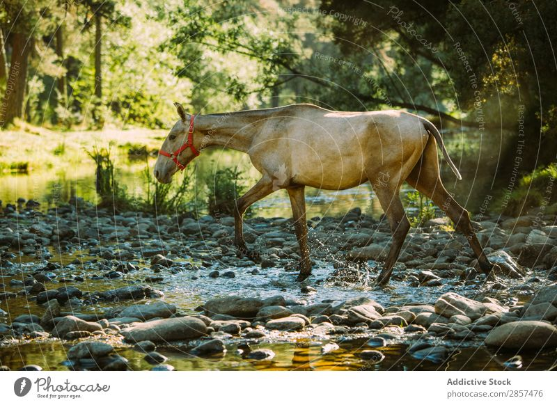 A horse crossing a river Animal Countries Crossing Field Foal Forest Green Horse Landscape riding River Stream Water Wild