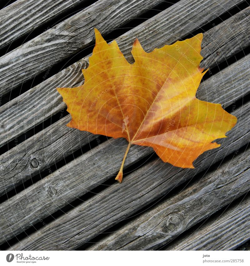 blown away Nature Autumn Leaf Illuminate Lie Sharp-edged Dry Uniqueness Colour Autumn leaves Early fall Wooden board Line Yellow Transience To fall Blow
