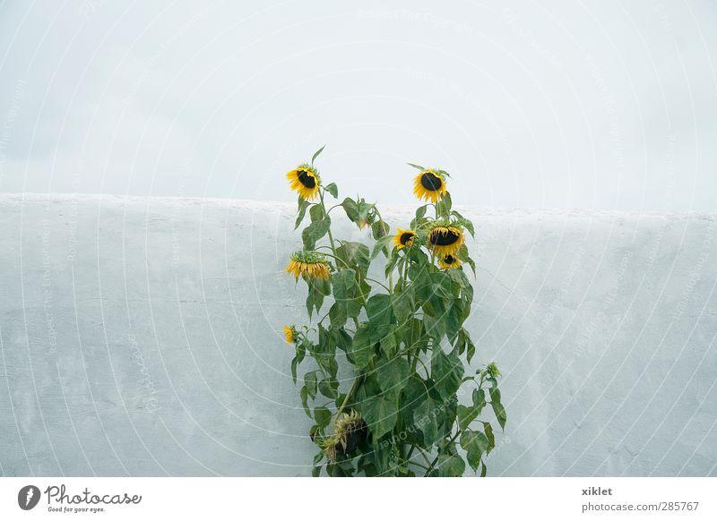 sunflower Sky Beautiful Green Water Loneliness Flower Leaf Yellow Cold Feminine Sadness Blossom Gray Natural Rain Field