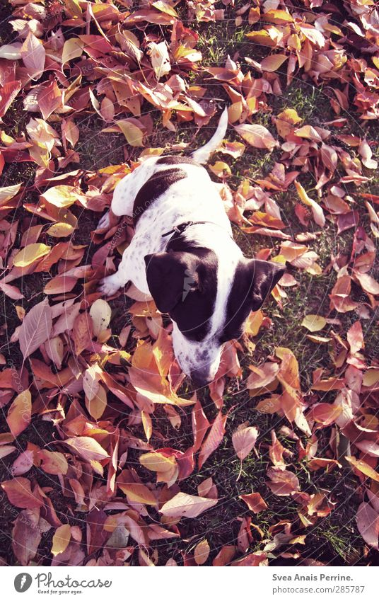 laub lina. Autumn Leaf Animal Pet Dog 1 Sit Meadow Red Spotted Colour photo Subdued colour Exterior shot Shallow depth of field Bird's-eye view