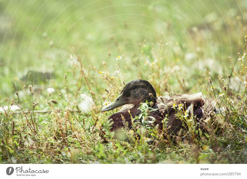 Nature Green Summer Animal Environment Meadow Grass Lake Bird Brown Lie Weather Wild animal Authentic Beautiful weather Animalistic