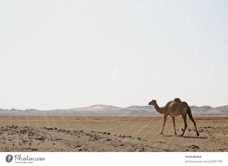 The Dromedary Camel Desert Oman Arabia Loneliness Far-off places Dust Sand Dry Dune Hot Near and Middle East The Orient
