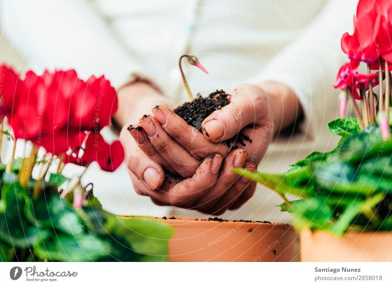 Woman's hands transplanting plant. Home Plant Born Sustainability Life Sow Sowing