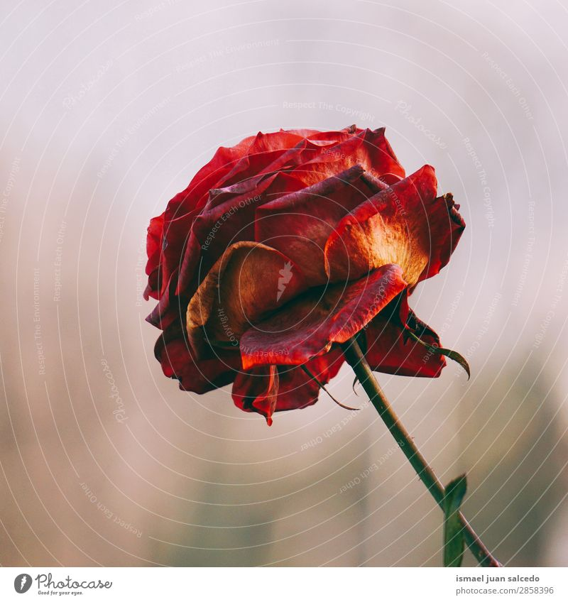 red rose flower plant Nature Summer Plant Red Flower Winter Autumn Spring Garden Decoration Romance Rose Beauty Photography Blossom leave Fragile Floral