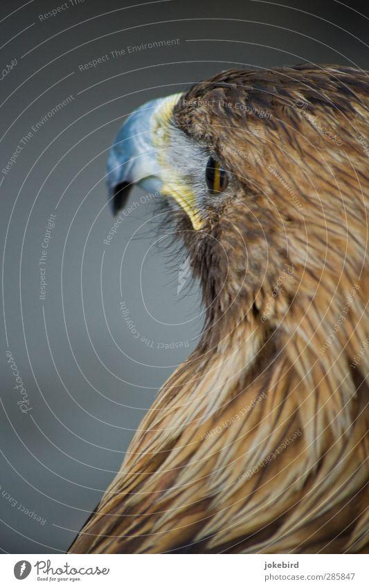 Brown Feather Animal face Beak Eagle Eagles eyes