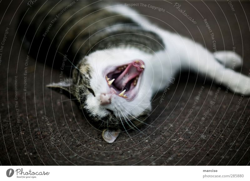predatory cat Environment Nature Animal Pet Cat Pelt 1 Creepy Power Love of animals Fatigue Comfortable Anger Aggravation Grouchy Aggression Colour photo