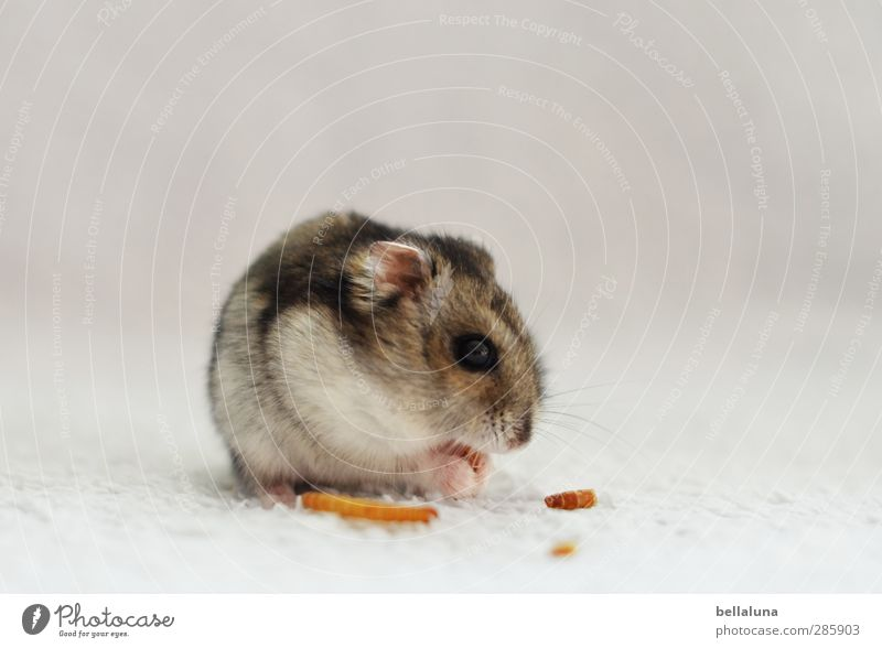 Karli for mealworms, he did everything. Animal Pet Animal face Pelt Paw 1 Sit Soft Gray White Hamster Pygmy Hamster To feed Eating Colour photo Subdued colour