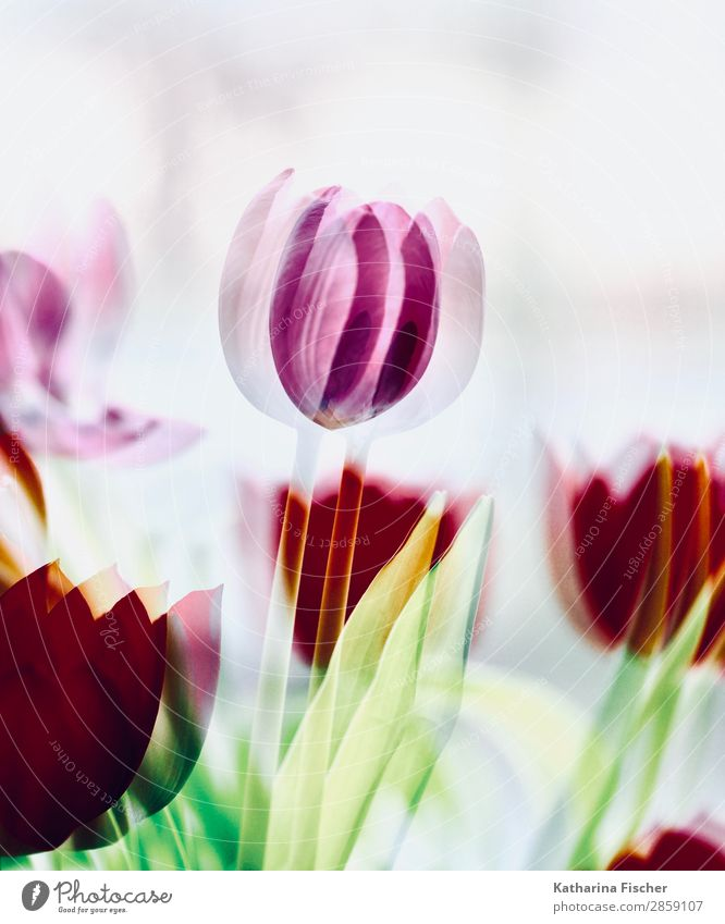Tulip Telps red tosa Art Nature Plant Spring Summer Autumn Winter Flower Leaf Blossom Bouquet Blossoming Illuminate Yellow Green Pink Red Turquoise White