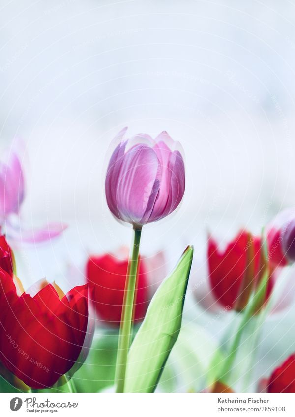 Tulip Tulips pink red Art Nature Plant Spring Summer Autumn Winter Flower Leaf Blossom Bouquet Blossoming Illuminate Esthetic Beautiful Green Violet Pink Red