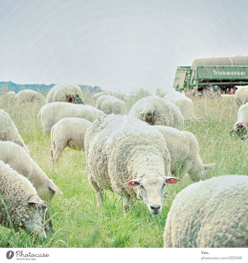 I can see you! Nature Cloudless sky Grass Trailer Animal Pet Farm animal Sheep Wool Herd To feed Cold Green Colour photo Subdued colour Exterior shot Deserted