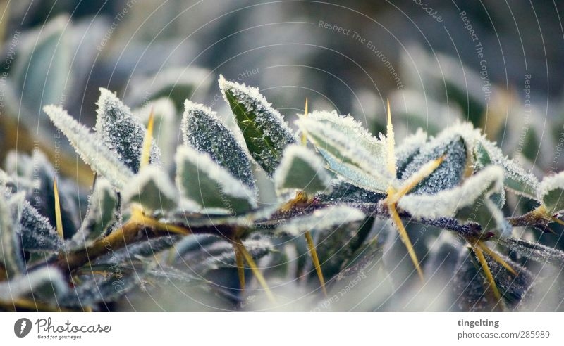 Nature Green White Plant Leaf Yellow Cold Ice Weather Climate Bushes Frost Branch Frozen Freeze Thorny
