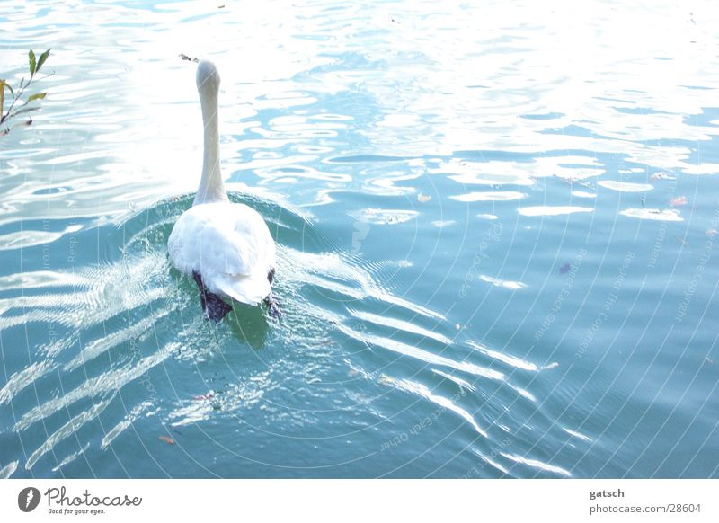 Swan from behind Lake Waves Water Blue Float in the water Swimming & Bathing