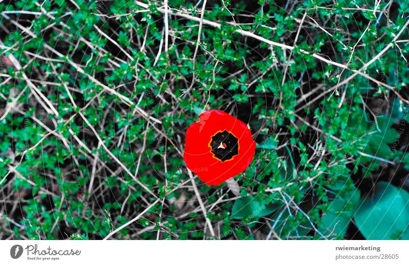 Flower Loneliness Meadow Poppy Thorn