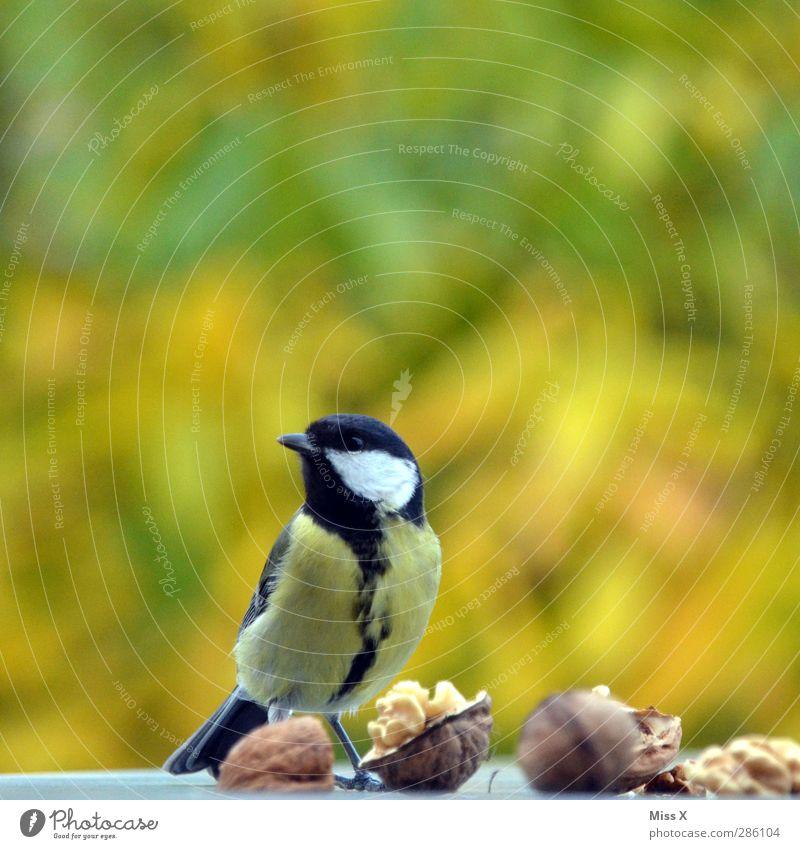 Animal Autumn Eating Bird Wild animal Curiosity Timidity Nut Walnut Purloin Foraging Tit mouse