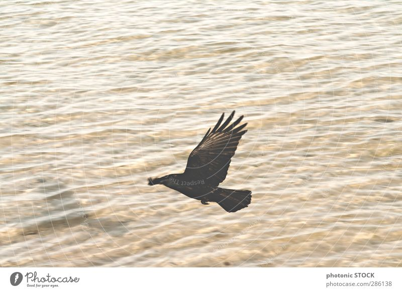 Bird. Shadows. Water Nature Waves Ocean Wild animal 1 Animal Flying Esthetic Far-off places Warmth Soft Brown Yellow Black Moody Power Warm-heartedness