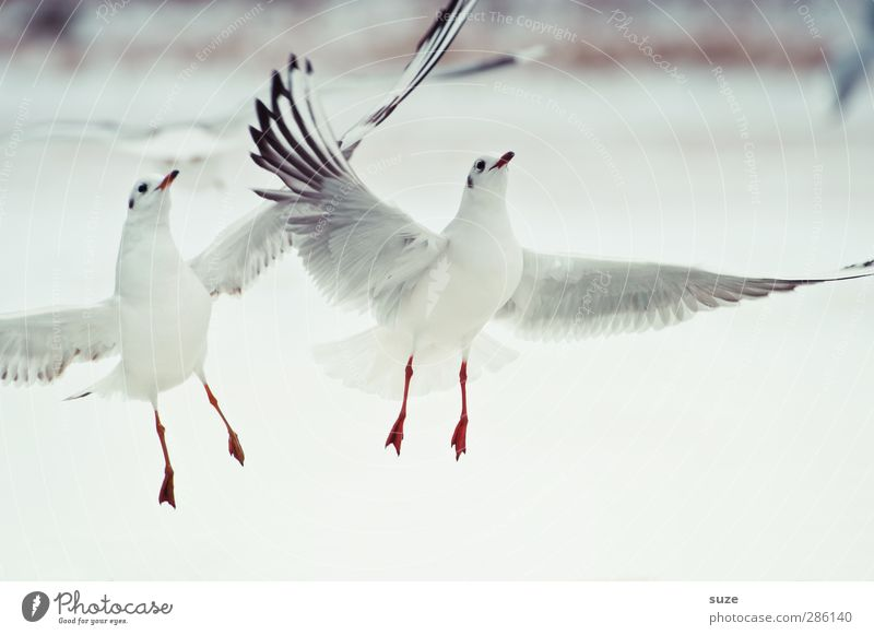 White Animal Winter Bright Air Bird Wild animal Pair of animals Feather Elements Wing Seagull Animalistic Floating Gull birds