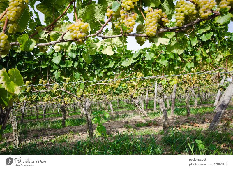 Terroir Bunch of grapes Culture Summer Grass Leaf Vine Tree trunk Bushes Vineyard Hang Long Sustainability Green Orderliness Row Wine growing Grown Tendril