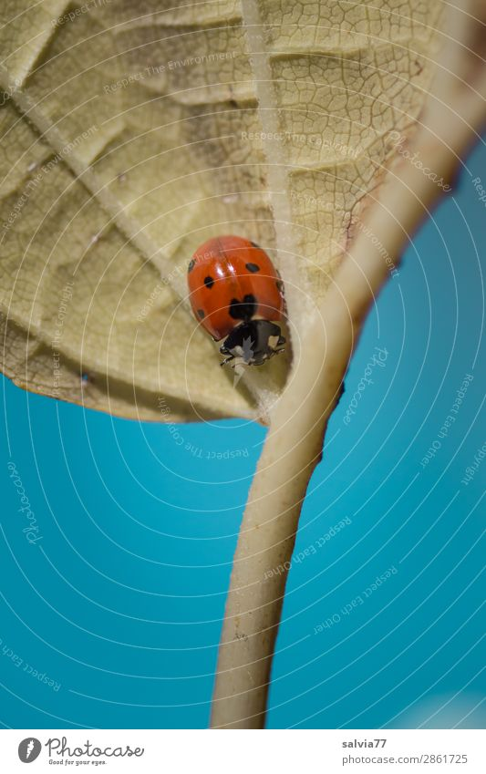 Every man is the architect of his own fortune Ladybird Seven-spot ladybird bring good luck Happy Crawl Leaf Life Rachis Symbols and metaphors Lanes & trails