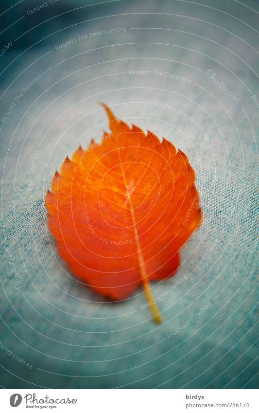 autumn leaf Autumn Leaf Jeans Illuminate Lie Esthetic Friendliness Positive Blue Orange Colour Pure Autumn leaves 1 Intensive Colour photo Exterior shot