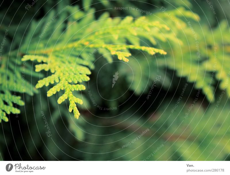 branch Nature Plant Tree Twig Fir needle Conifer Garden Fresh Green Colour photo Multicoloured Exterior shot Deserted Day Shadow Shallow depth of field
