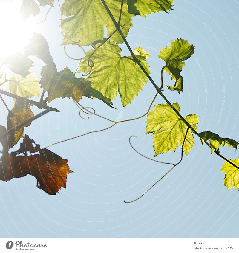 gleaning Wine Nature Plant Autumn Leaf Foliage plant Agricultural crop Creeper Vine Vine tendril Field Hang Growth Blue Green Happiness Joie de vivre (Vitality)