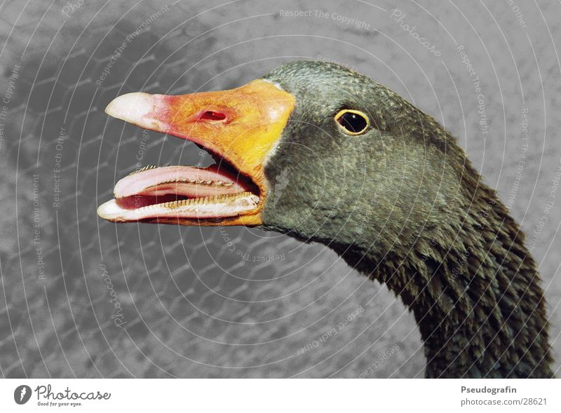 *creatic* Farm animal Bird Animal face 1 Scream Goose Beak Tongue Neck Colour photo Subdued colour Exterior shot Deserted Neutral Background Animal portrait