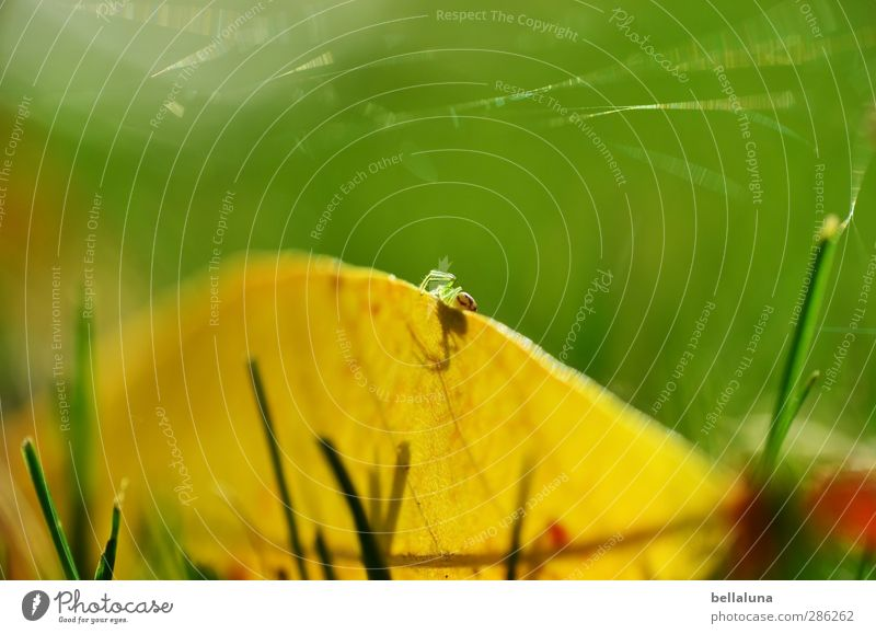 Indian summer Nature Plant Animal Autumn Weather Beautiful weather Grass Leaf Garden Park Meadow Wild animal Spider 1 Crawl Sit Yellow Green Red Indian Summer