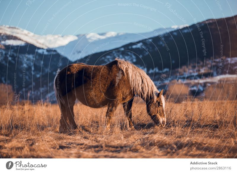 Wild horse pasturing on field near hills Horse Field Hill cerdanya France Meadow Mountain Sunset Beautiful Mane Animal Nature Mammal Beautiful weather equine