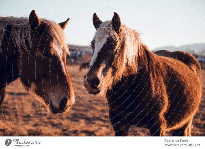 Wild horses pasturing on field near hills Horse Field Hill cerdanya France Meadow Mountain Sunset Beautiful Mane Animal Nature Mammal Beautiful weather equine
