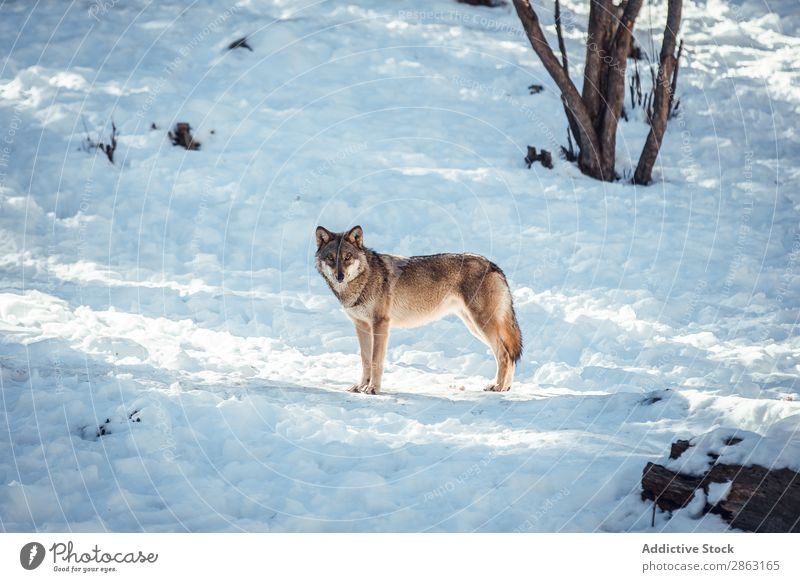 Wolf on hill near stones and snow Tree Snow Winter Stone les angles Pyrenees France Hill Wild Forest Beautiful weather Rock Trip Frost Green Dangerous Wood Park