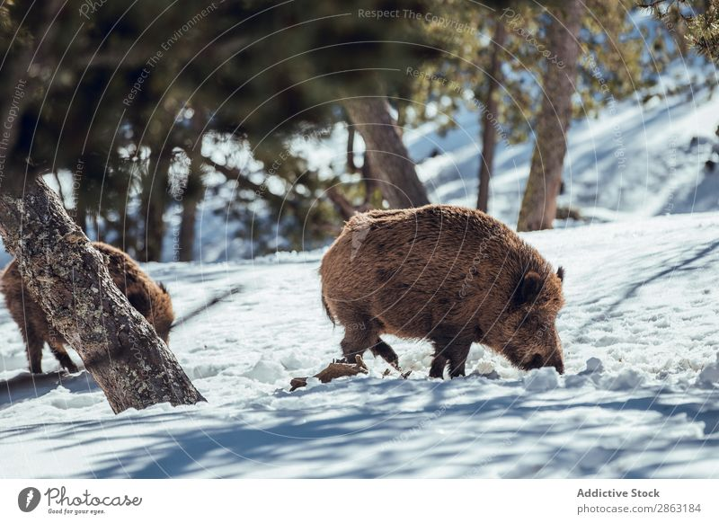 Boars pasturing between trees and snow Tree Snow Winter Forest les angles Pyrenees France Pigs Mountain Wild Herd Picturesque Trip Frost Hill Green Wood Park