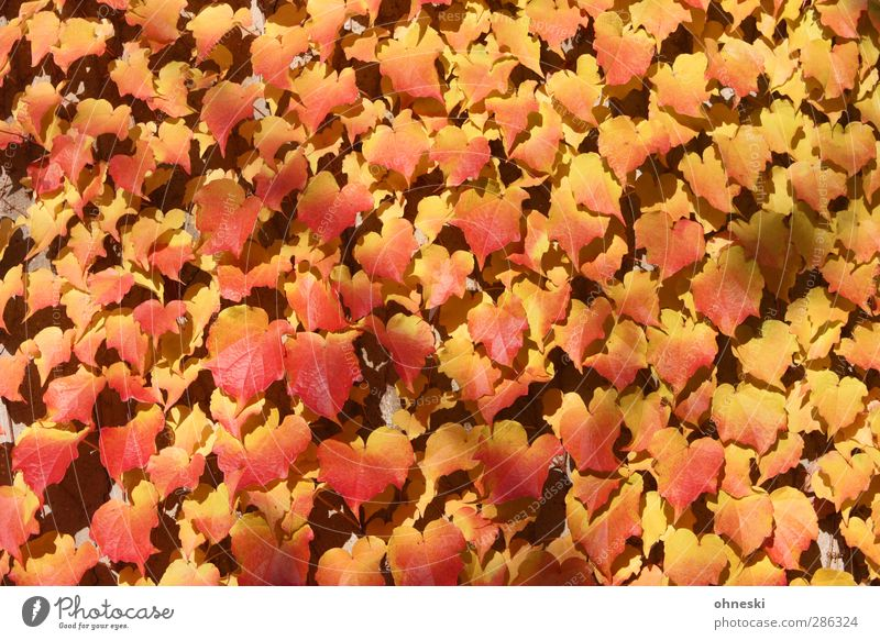 adhesion Sunlight Autumn Plant Ivy Leaf Tendril Yellow Gold Red Colour photo Multicoloured Exterior shot Abstract Structures and shapes Deserted