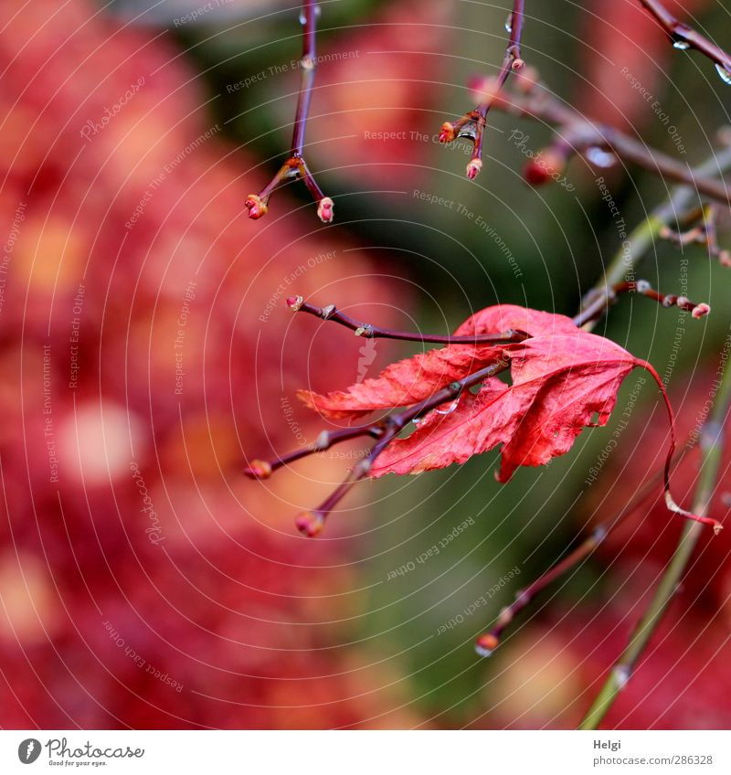 hold on... Environment Nature Plant Autumn Tree Leaf Maple tree Maple leaf Twig Garden Old To hold on Hang To dry up Esthetic Authentic Simple Natural Dry Brown