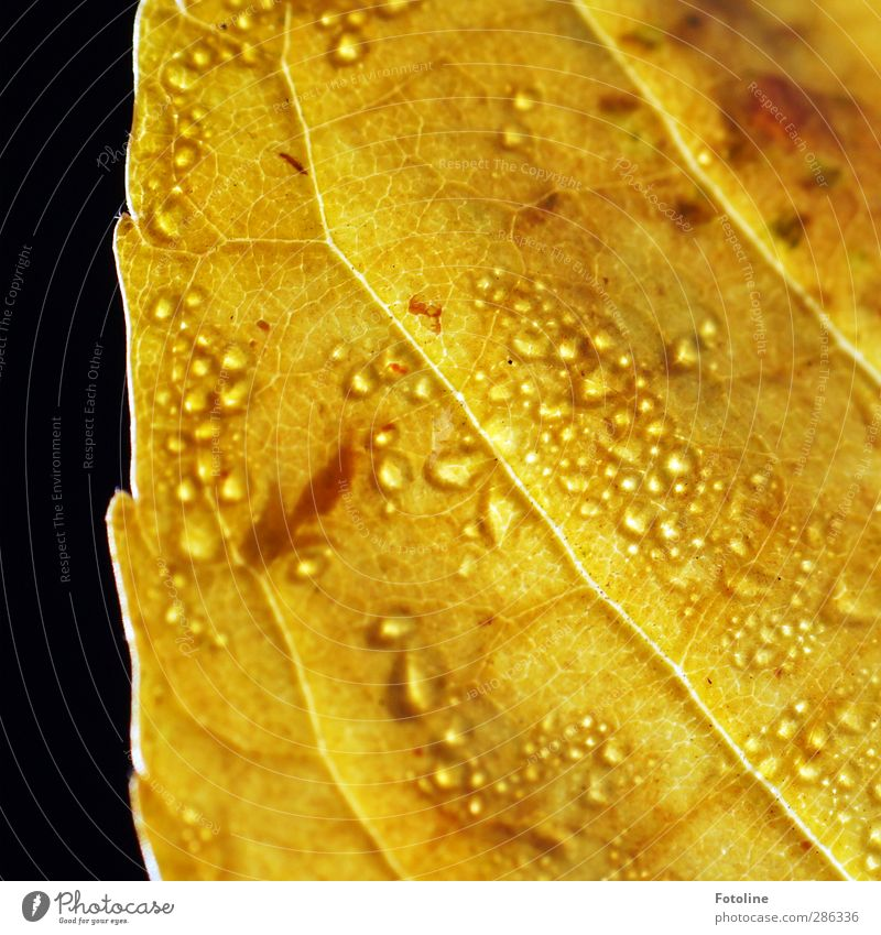 Nature Water Plant Leaf Yellow Environment Autumn Bright Brown Natural Wet Drops of water Elements Near Autumn leaves Autumnal