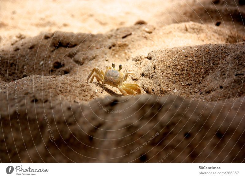 Cancer in the evening sun Exterior shot Colour photo Animal Shellfish Beach Sand Sun Day Shallow depth of field Deserted Brown