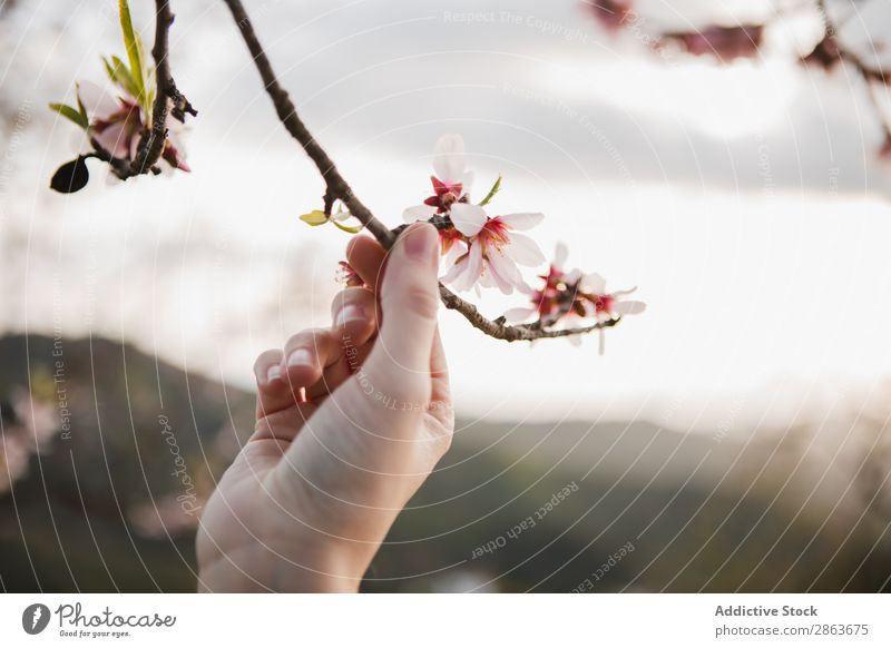 Woman holding tree twig in garden Tree Twig Garden Hand Blooming Wood Hill Branch Flower Lady Park Blossom Aromatic Fruit Nature Green Plant Gardening Botany